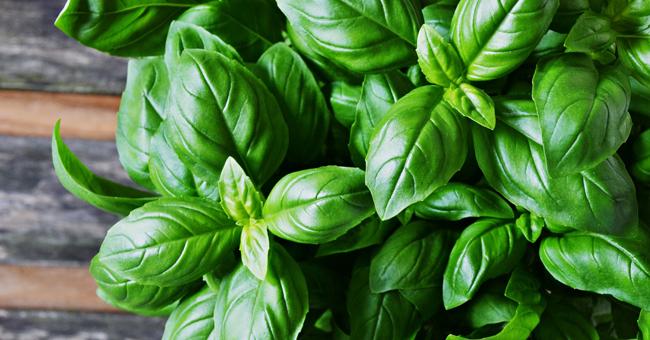 erbe aromatiche primaverili: basilico