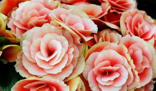 Primavera: begonie