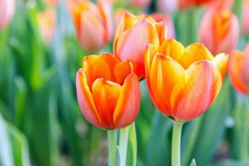 Primavera: tulipani